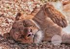 La leonessa